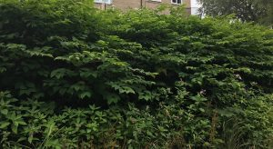 The consequences of letting Japanese Knotweed spread Why Japanese Knotweed is a problem?