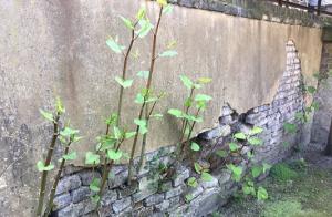 Does Japanese knotweed cause property damage?