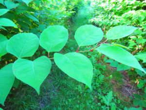 Most Common Japanese Knotweed Misconceptions