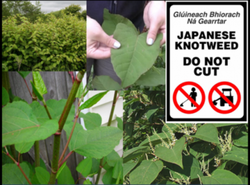 Japanese Knotweed and its detrimental affect on the property industry